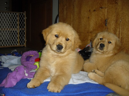 Goldenbear Kennels Golden B Bear Kennels Golden Retrievers